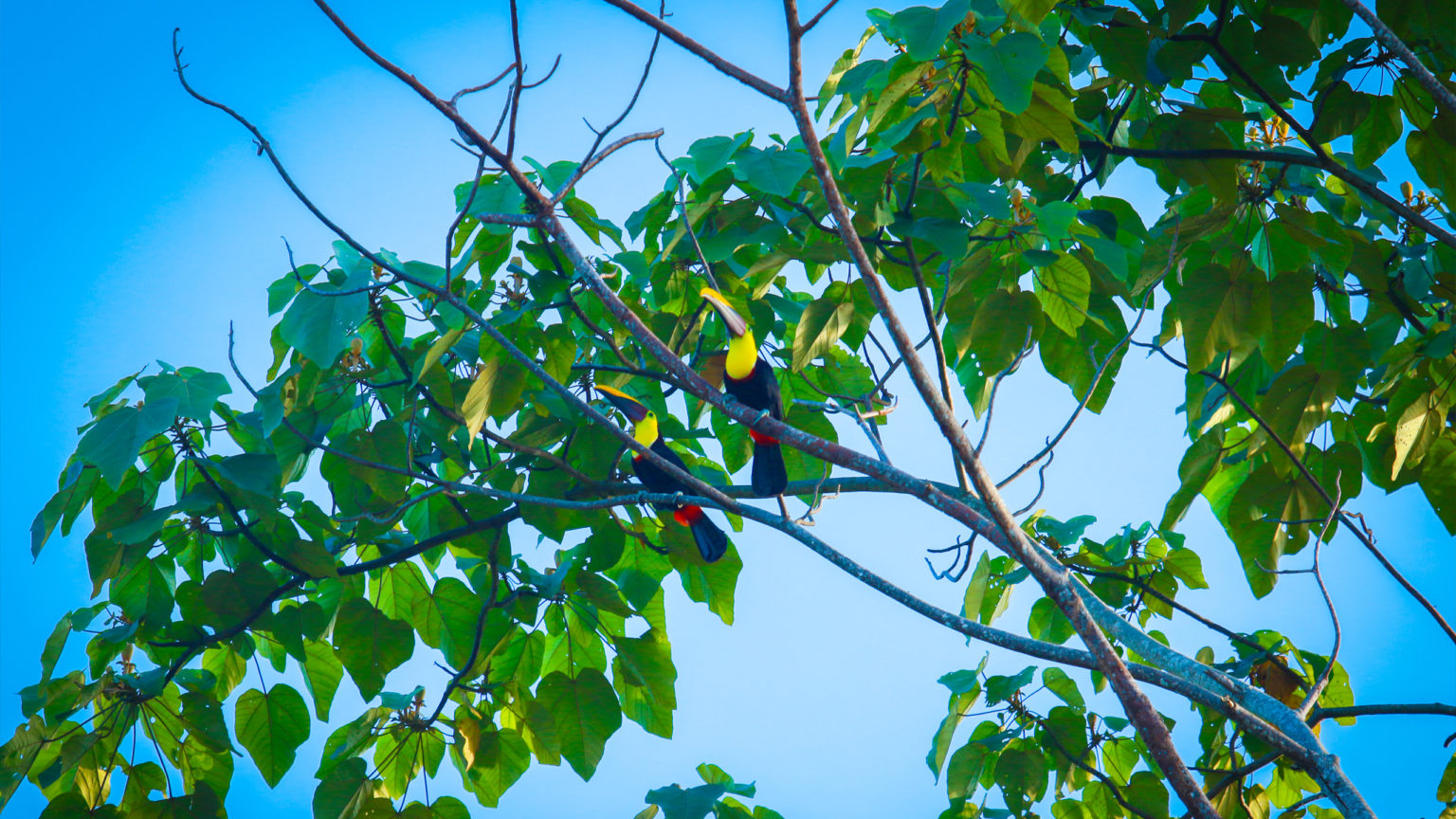 Toucans: Altos de Miramar, Dominical, Osa Peninsula